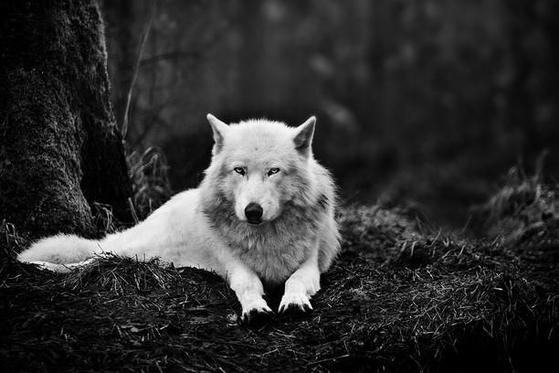 Zrzut ekranu pakietu Black Wolf