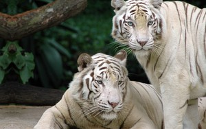Піктограма White bengal tigers