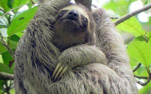 Ikona za Sloth