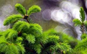 Picea 的圖示