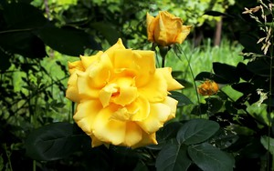 Значок для Yellow Rose