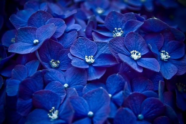 壁紙 blue flowers opera アドオン