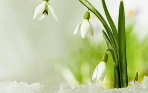An ìomhaigheag airson Snowdrops