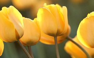 Icono de Tulip