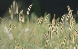 Значок для Bristle Grass