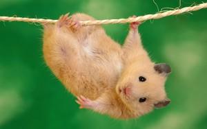 Pictogram voor Funny Hamster