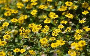 Ikona za gelbe Blumen (yellow flowers)