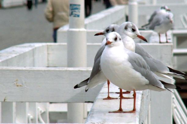 Screenshot for seagulls