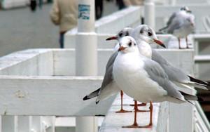 Ikona pakietu seagulls