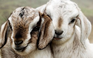 Значок для Two Lambs