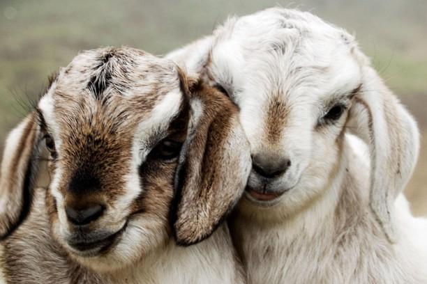 Screenshot for Two Lambs