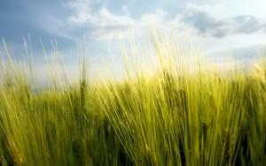Icône pour wheat