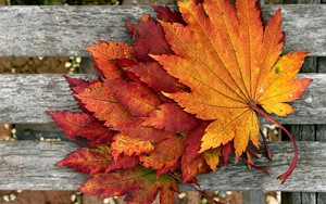 Значок для Maple Leaves