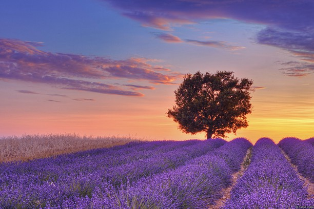 Снимок экрана для Lavender Field