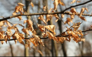 Значок для Brown leaves in Wood