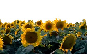 Ikona pro Sunflower