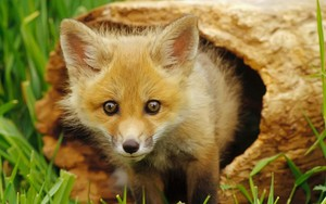Ikona pakietu Baby Fox