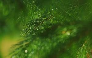 Ikona za Fir tree