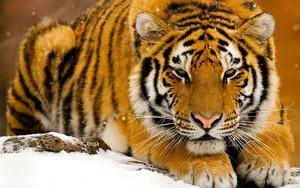 Іконка для tiger