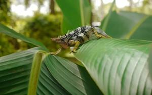 Ikona pro Two-Horned Chameleon