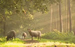 Sheep के लिए आइकन