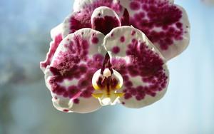 Ikona za Orchideee
