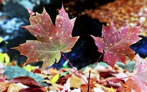 Kohteen Maple Leaf kuvake