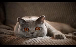 Ikona za Cat on the couch