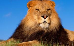 Іконка для lion