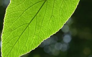 Ikona pro Backlit Leaf