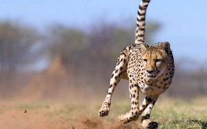 Ikona pakietu Running Cheetah