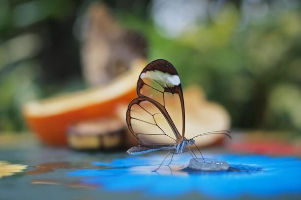 Hintergrundbild Glasswinged Butterfly Opera Add Ons