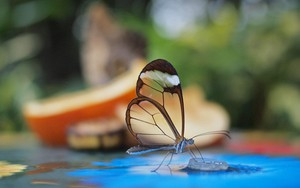 Значок для Glasswinged Butterfly