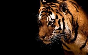 Іконка для Tiger Black