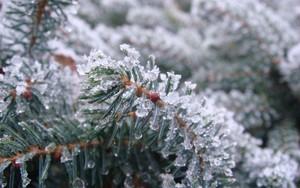 Значок для Frozen Fir Needles