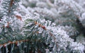 Ikona pakietu Frozen Fir Needles