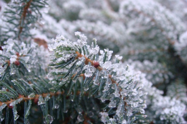 Снимка за Frozen Fir Needles