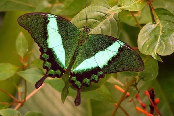 Снимка за Green Butterfly