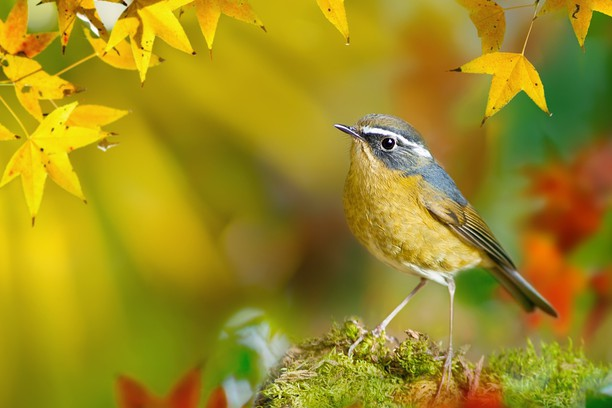 Screenshot for White-browed Bush-Robin