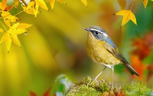 White-browed Bush-Robin ikonja