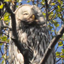Icon para sa Short-eared Owl Puzzle